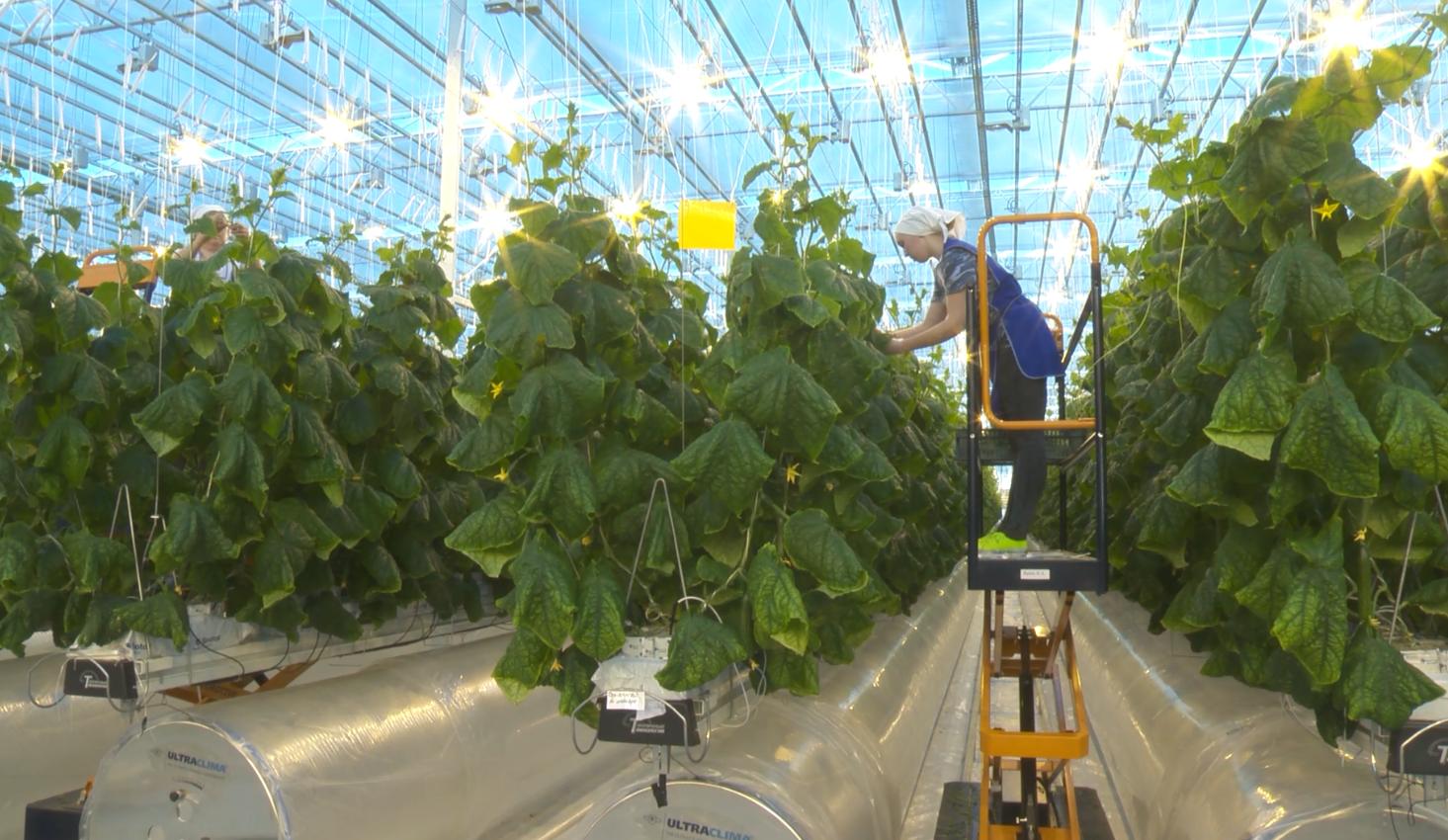 промышленное выращивание огурцов в теплице